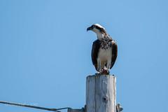 Osprey with fish (soundstruck) Tags: pointreyesnationalseashore osprey