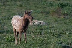 Tule Elk (soundstruck) Tags: pointreyesnationalseashore tuleelk
