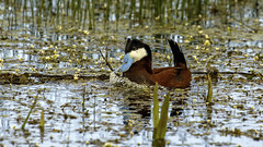 Ruddy Duck (m) (Bob Gunderson) Tags: birds california divingducks ducks harrietlane northerncalifornia oxyurajamaicensis plumascounty ruddyduck sierras stifftailedducks