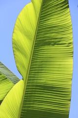 Feuilles de bananier (just.Luc) Tags: bananier musa banana banaan plant plante pflanz leaf blad feuille green groen grün vert verde natuur nature montpellier hérault occitanie okzitanien france frankrijk frankreich francia frança blue bleu blauw blau azul