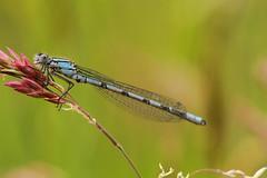 Common Damselfy (jon lees) Tags: insect invertebrate countyfermanagh northernireland