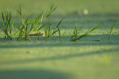 Camouflaged (The Wasp Factory) Tags: ediblefrog frog teichfrosch pelophylaxklesculentus ranaesculenta wildlife tierparksababurg tierpark sababurg