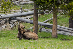 Some kids just won't leave (ChicagoBob46) Tags: grizz grizzly grizzlybear bear sow cub yellowstonenationalpark yellowstone nature wildlife coth5 naturethroughthelens ngc npc