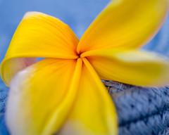 Five Petals (risaclics) Tags: 60mmmacro frangiapani june2019 nikond610d five flora flower orange yellow crazytuesday