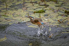 Fishing for a Tiddler (Anthony de Schoolmeester) Tags: splash water waterbird britishwildlife welshwildlife d500 nikon naturephotography nature wildlifephotography wildlife tiddler fish fishing feeding birdinflight kingfisher
