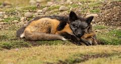 ND5_7850 Red and Black (Wayne Duke 76) Tags: foxkits siblings fur cuteness sleep quiettime