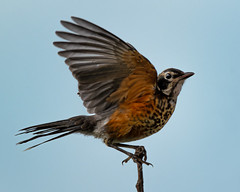 Young American Robin (David Wirtz) Tags: young american robin bird david wirtz davidwirtz 2019