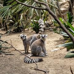 Ring-Tailed Lemurs I