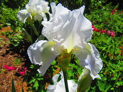 IMG_7273 6-15-2019 (PGK88) Tags: white flower iris nature garden petals blooming bloom blossom closeup spring springtime beautiful 2019 plant sunlit sunlight