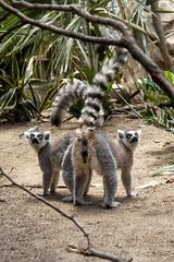Ring-Tailed Lemurs II