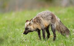 Silver Fox (scott5024) Tags: red fox silver wildlife grand teton national park hunting spring