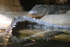 Crocodile With Tail (edenpictures) Tags: reptile crocodile nilecrocodile madagascar bronx zoo bronxzoo newyorkcity nyc