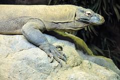 Komodo Dragon (edenpictures) Tags: komododragon lizard reptile giant bronx zoo bronxzoo newyorkcity nyc