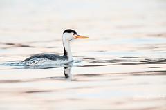 Clark's Grebe in Early Light (Let there be light (A.J. McCullough)) Tags: grebe clarksgrebe birds oregon upperklamathlake klamathfalls