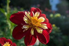 Show off (tquist24) Tags: bonneyvillemillcountypark indiana nikon nikond5300 outdoor bokeh color colorful dahlia flower geotagged outside park red