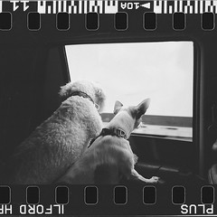 sprokets-doggos-looking-outside-car-window2- (Angelperez916) Tags: minolta freedom minoltafreedom film 35mm v370 epsonv370 sacramento dogs blackandwhite bw filmborders doggos