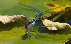 I've got you and I ain't letting you go !! (wesleybarr1962) Tags: dragonflies