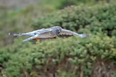Harrier in Flight #77 (lennycarl08) Tags: hawk raptor birdofprey birds northernharrier grayghost pointreyesnationalseashore