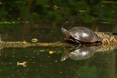 Eastern Painted Turtle (jmfuscophotos) Tags: turtle amphibian newyork newyorkstate rockefellerstatepark westchestercounty wildlife nature