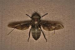 Tabanus atratus (Wilhelm Guggisberg) Tags: tabanus tabanusatratus fly huge black diptera insects florida everglades horsefly