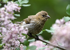_A993201 (mbisgrove) Tags: sparrow lilac bisgrove bird a99ii a99m2 flower sony sal70400g2