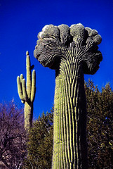 Crested Saguaro (Buck--Fever) Tags: arizona arizonadesert arizonaskies arizonawonders saguaros saguaro saguarocactus cactus scanfromslide crestedsaguaros crested southeastarizona rip