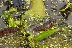 Lake snake (jmfuscophotos) Tags: snake amphibian newyork newyorkstate rockefellerstatepark westchestercounty wildlife nature
