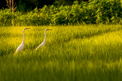 Herons 2 (kellypettit) Tags: heron birds rice japan golden light
