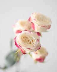Roses #458, 16Jun19 (Ko-Bo) Tags: rose color flower high key