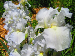 IMG_7250 6-15-2019 (PGK88) Tags: irises iris flowers blooms blossoms blooming beautiful petals white garden nature outdoors 2019 spring springtime