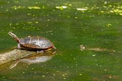 You're in my spot (jmfuscophotos) Tags: turtle amphibian newyork newyorkstate rockefellerstatepark westchestercounty wildlife nature