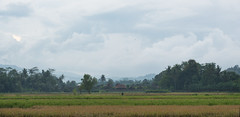 ruma dharma rice field java Indonesia (dzroth) Tags: travel indonesia java rice field