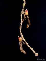 Hoverflies, Salpingogaster sp.? Syrphidae (Ecuador Megadiverso) Tags: andreaskay diptera ecuador fly hoverfly salpingogastersp sumakkawsayinsitu syrphidae