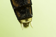 Dragonfly Tail (-FlyTrapMan-) Tags: dragonfly fly tail macro nature wildlife insect bug