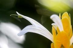 Panache d'officier ou Chevrette jaune du jardin (Christian Chene Tahiti) Tags: canon 6d paea tahiti pachystachys jaune chevrettejaune panachedofficier plumedofficier fleur flower jardin blanc macro forme ombre lmumière courbe curves macromondays hmm épi poil bokeh
