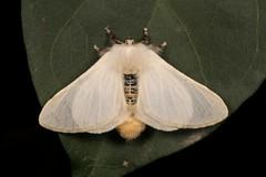 Bombycid Silkmoth (Gnathocinara situla, Bombycidae), female (John Horstman (itchydogimages, SINOBUG)) Tags: insect macro china yunnan itchydogimages sinobug entomology canon moth lepidoptera bombycidae white