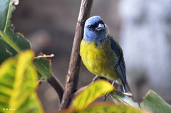 What...? (R. M. Marti) Tags: blue yellow tanager ave bird animal peak plumas tronco arbol hojas feathers trunk tree leaves