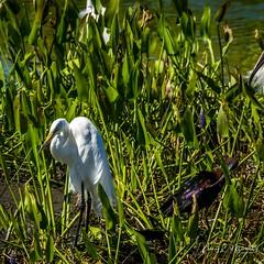 viera_fb_050617-8 (ccgrin) Tags: avian bird egret fishingbird florida greatwhiteegret heronfamily melbourne shorebird vierawetlands wadingbird waterareas waterbird watermanagementareas