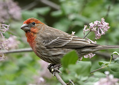 _A993332 (mbisgrove) Tags: red feather bird a99ii a99m2 house finch sony sal70400g2 wings