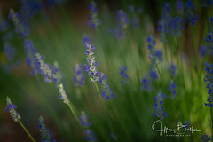 Lavender-943309 (Jeffrey Balfus (thx for 5,000,000 views)) Tags: sonyalpha sonya9 ilce9 fe70200mmf28gmoss sel70200gm lavender flowers