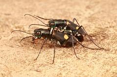Tiger Beetles (Calochroa salvazai, Cicindelinae, Carabidae) (John Horstman (itchydogimages, SINOBUG)) Tags: insect macro china yunnan itchydogimages sinobug entomology canon beetle coleoptera carabidae 2 cicindelinae tiger