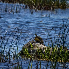 viera_fb_050617-14 (ccgrin) Tags: animals florida melbourne nature reptile turtle vierawetlands waterareas watermanagementareas wildlife