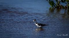 viera_fb_050617-4 (ccgrin) Tags: avian avocetstiltfamily bird blackneckedstilt florida melbourne shorebird vierawetlands waterareas watermanagementareas