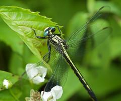 Lilypad Clubtail (Arigomphus furcifer) Dragonfly - Female (daveumich) Tags: dragonfly dragonflies michigandragonflies michiganodonata odonata riverbendnaturalarea