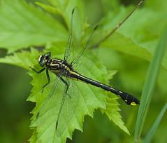 Cobra Clubtail (Gomphus vastus) Dragonfly - Female (daveumich) Tags: dragonfly dragonflies michigandragonflies michiganodonata odonata riverbendnaturalarea