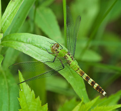 Eastern Pondhawk (Erythemis simplicicollis) Dragonfly - Female (daveumich) Tags: dragonfly dragonflies michigandragonflies michiganodonata odonata riverbendnaturalarea