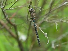 Spatterdock Darner (Rhionaeschna mutata) Dragonfly - Male (daveumich) Tags: dragonfly dragonflies michigandragonflies michiganodonata odonata riverbendnaturalarea