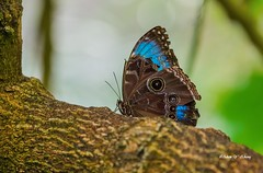 A Sneaky Butterfly (Thank you, my friends, Adam!) Tags: wideangle lenses standard telephoto super closeup zoom adamzhang orlando lakemary nikkor teleconverter ngc 漂亮 nikon dslr 长焦 长焦镜头 尼康 镜头 中佛州 野生动物 保护区 单反 lens central florida wildlife macro flower beauty curve color colorful colors 色彩 多姿 beautiful gorgeous gallery fine art photography photographer excellent interesting explore fun nice unique