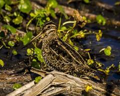 viera_fb_020417-11 (ccgrin) Tags: 2017 avian bird commonsnipe florida melbourne sandpiperfamily shorebird vierawetlands waterareas watermanagementareas