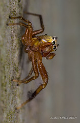 Tiny Jumping Spider With Eyebrows (strjustin) Tags: jumpingspider arachnid beautiful bug insect eyes macro focusstacking
